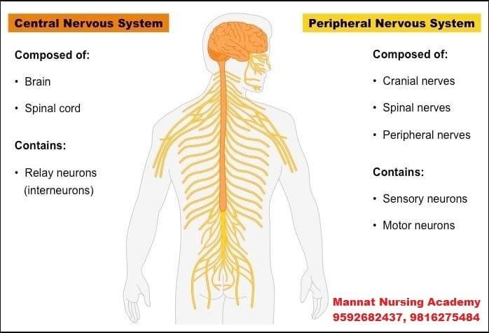 Nervous System in Body | mannatacademy.com